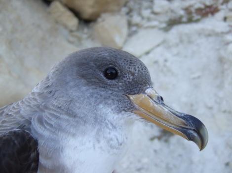 Cory's Shearwater (Beak)_Dr. Andre Raine