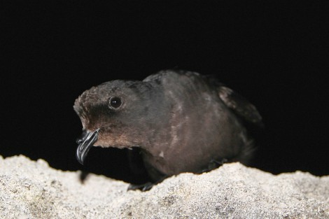 curious_storm petrel_ed_ photo by Ben Metzger