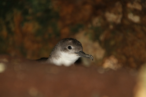 Yelkouan Shearwater inside nest. Photo by Ben Metzger