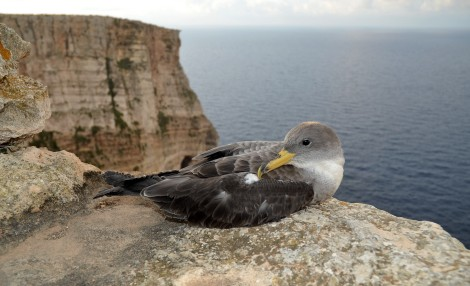 The larger of the Shearwaters - the Scopoli's Shearwater , will be leaving their nests later in the summer.