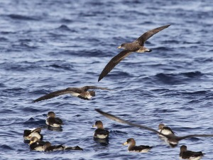 Scopoli's Shearwater, off Ta Cenc 20May2013