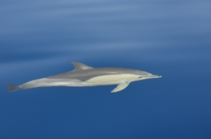 Common short beaked dolphin swimming gracefully and palyfully at the bow of the boat