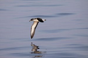 A Scopoli's Shearwater dips its wing-tip, almost touching the surface of the water as it skims over the sea. Photo by Nicholas Galea