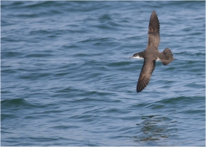 A Yelkouan Shearwater gliding above the sea between wing beats. Photo by Frank Dhermain