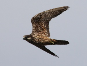 Eleonora's Falcon as other raptors cross bodies of water during migration.