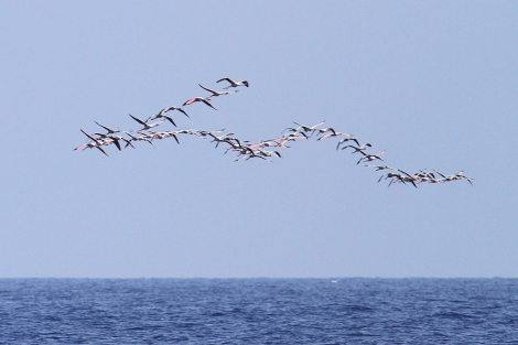 Flock of flamingos migrating over Maltese waters at the end of August.