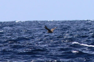 Great Skua is among the more difficult spots at sea.