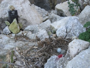 A nest of Yellow-Legged Gull being monitored with a camera, to record predation on Storm Petrel.