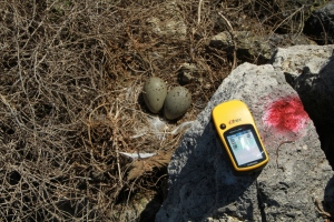 Nest of Yellow-Legged Gull being mapped with GPS.