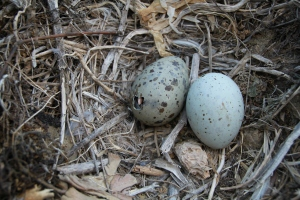 Eggs of Yellow-Legged Gull. One chick was hatching at the same time the photographer took the snap.