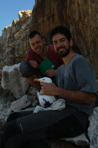 Two researchers handling, taking measures and ringing a Yellow-Leggeg Gull on Filfla