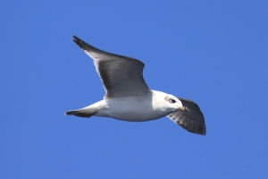 Mediterranean gull flying above the boat during an autumn transect.