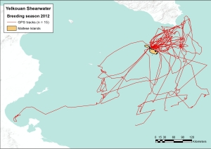 GPS-tracks of adult Yelkouan Shearwaters at Rdum tal Madonna, Malta, during chick rearing. Tracking the birds on their foraging trips is crucial for identifying important feeding areas at sea.