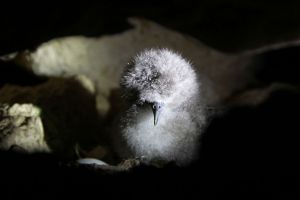 Cute and fluffy: A freshly hatched Yelkouan Shearwater chick in its nest burrow.