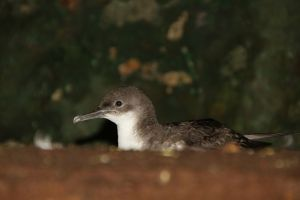 Incubating Yelkouan Shearwater. Both partners take it in turns incubating their single egg for a total of more than 40 days.