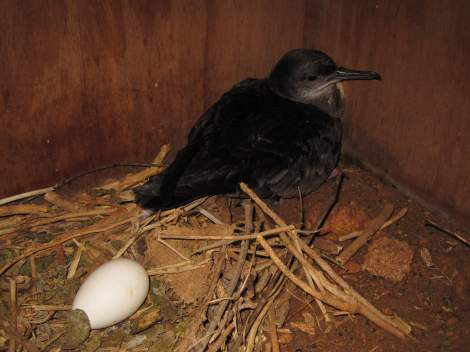 One of the adults from the first pair of Yelkouan Shearwaters to use an artificial nest box in the Maltese Islands. Photo by Dr Benjamin Metzger