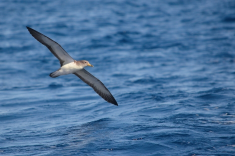 A Scopoli's Shearwater (Calonectris diomedea) in its typical shearing flight over the sea. Photo by Maria De Filippo.