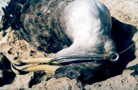 Cory's shearwater caught up in a longline hook.