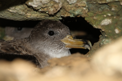 A female Scopoli's Shearwater (Calonectris diomedea) sitting in her nest in a cliff burrow. Scopoli's shearwaters return to the same nesting site year after year, raising only a single chick. Photo by Benjamin Metzger.