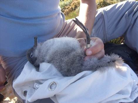 A Yelkouan Shearwater chick being ringed. Photo: N. Cox