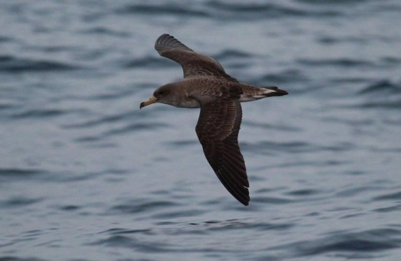 A Scopoli's Shearwater (Ciefa) shearing past the boat. Photo: Tim Micallef.