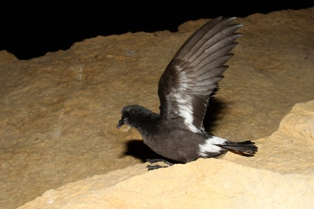 Young Storm Petrel exercising it's wings prior to first flight. Photo : Ben Metzger.